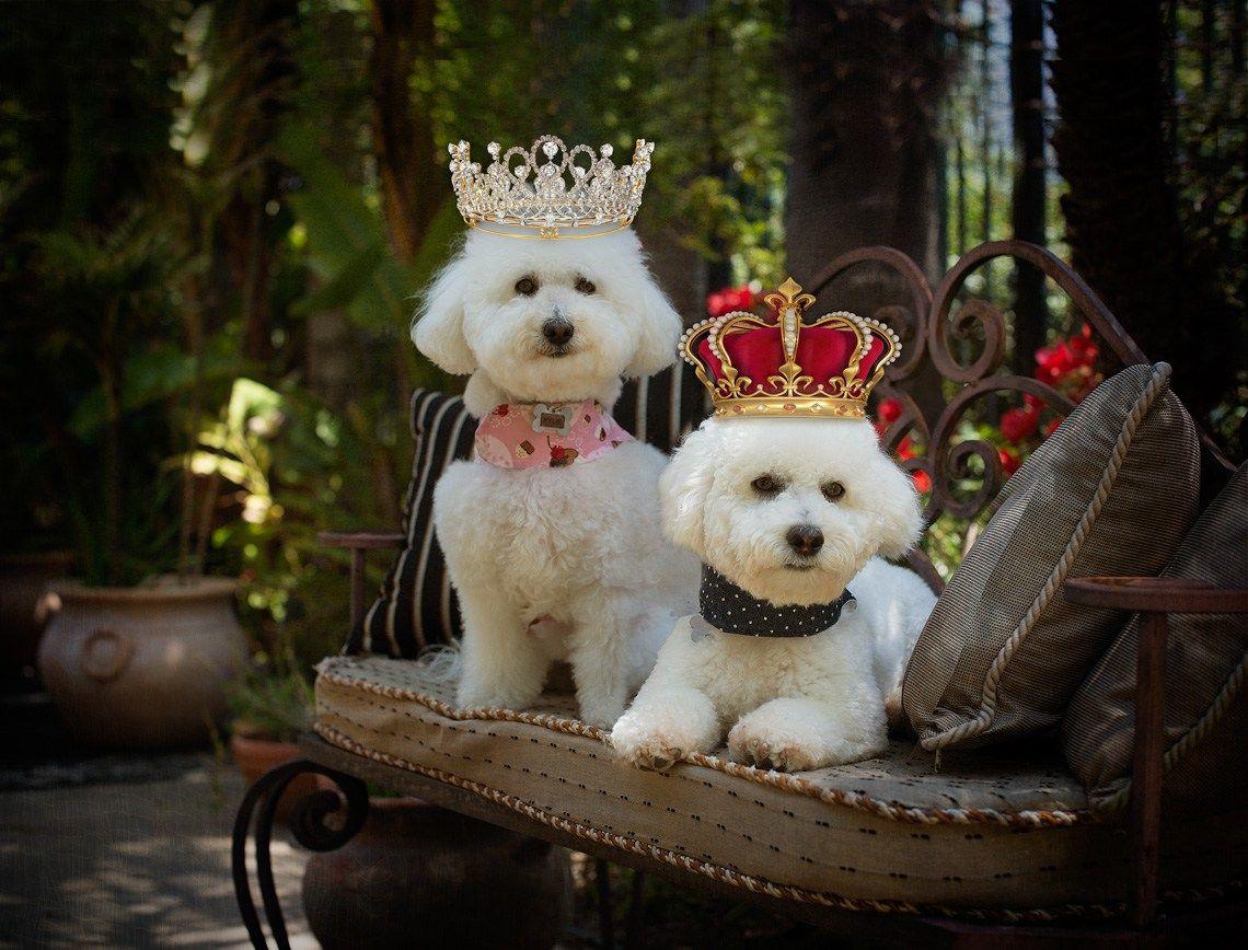 صور حيوانات اليفة Animal Photography Bichon Pets
