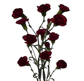 Buy Burgundy Mini Carnation Flower At Wholesale Carnation Wedding Flowers Mini Carnations Wholesale Flowers