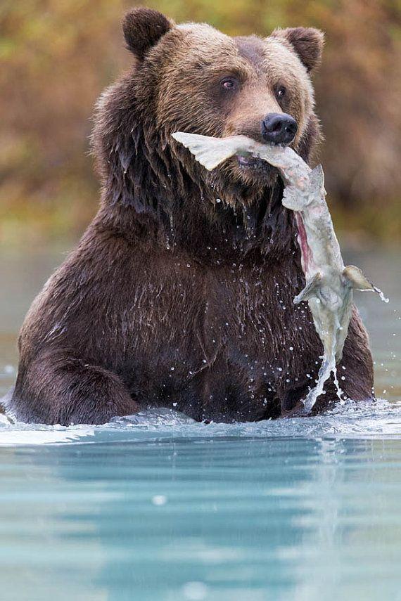 Award Winning Wildlife Photographer Rob Daugherty Captures This Brown Bear As It Chomps Down Its Salmon Dinner Thi Brown Bear Animal Photography Bear Wall Art