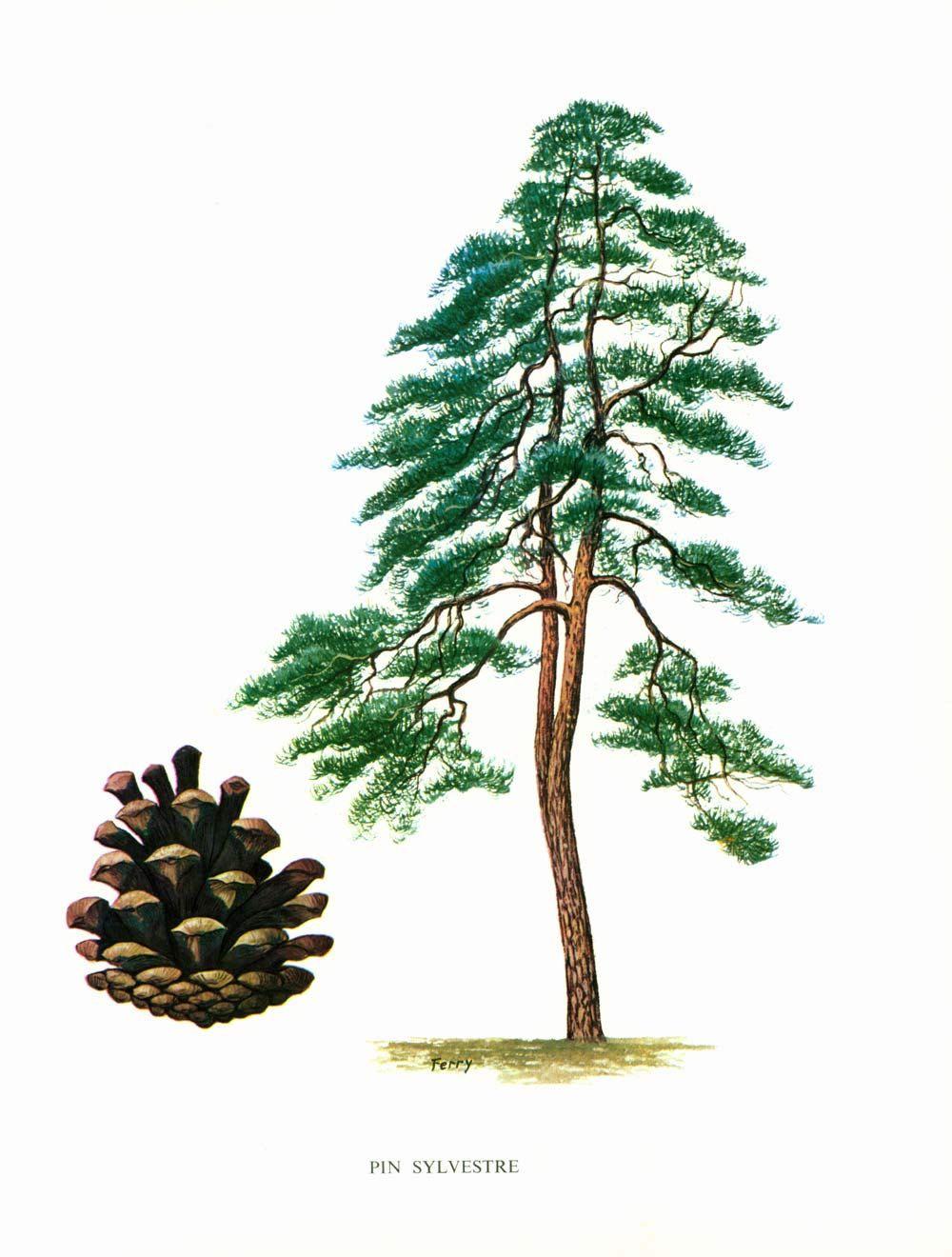 1967 scots pine print pinus sylvestris vintage botanical. Black Bedroom Furniture Sets. Home Design Ideas