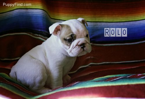 Puppyfind Com My English Bulldogs Puppies For Sale 580 759 9698