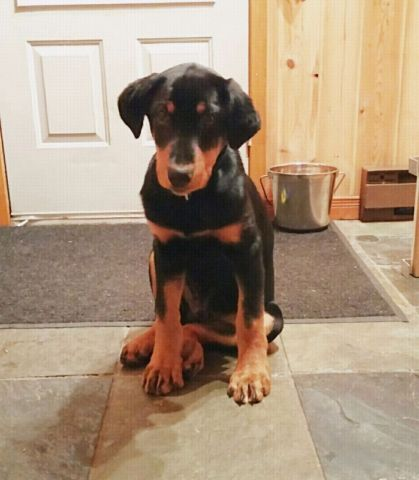 Doberman Cross Rottweiler 4 Months Dog Crossbreeds Doberman