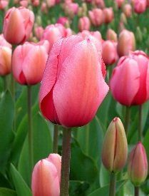 Undoubtedly, tulip is one of the most admired flowers in the world. In terms of statistics, it is ranked number three after rose and chrysanthemum...