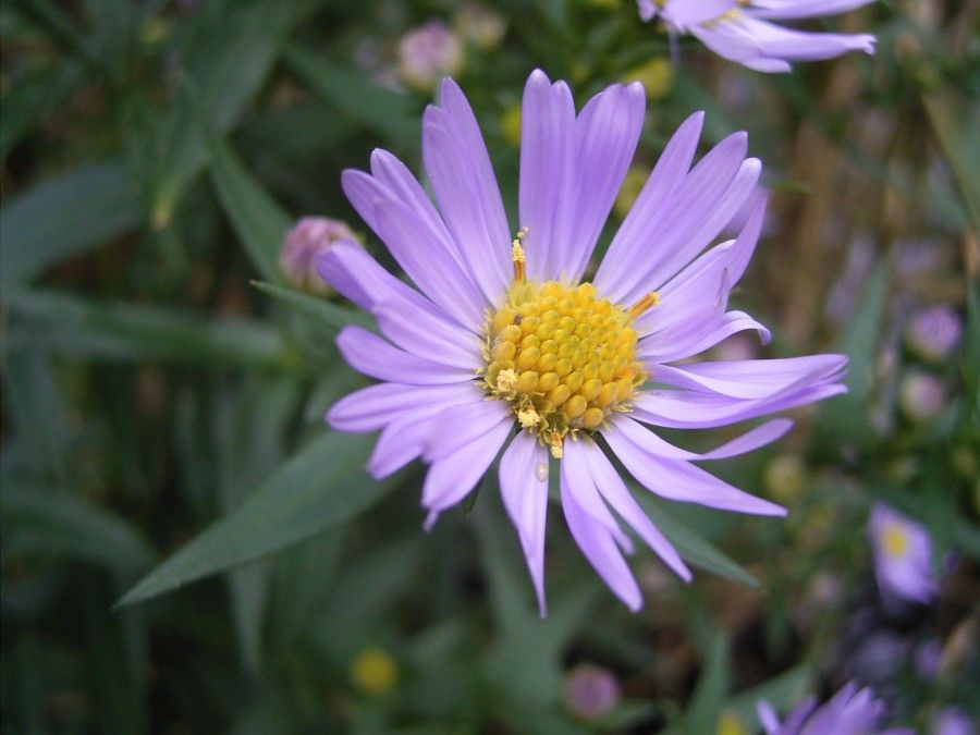 Symphyotrichum Spp Aster Good General Companion Plant An Important Source Of Pollen Nectar For Bees Plants Pollinator Plants Michaelmas Daisy