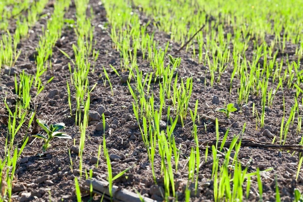 How Long Does It Take Grass Seed To Grow Seed To 2 Tall Grass Seed Wheat Grass Growing Seeds