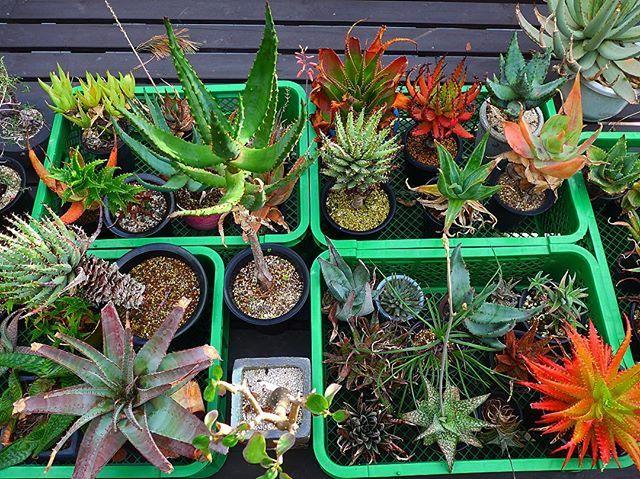 最近、生まれてこのかた、1番忙しいので オナニーも、してません。 合掌🙏  #cacti#cactus#caudex#succulents #succulent#サボテン#多肉植物#多肉 #plant#plants#植物#cactusmagazine #cactusclub#cactuslover#cactuslove  #変態サボテン党