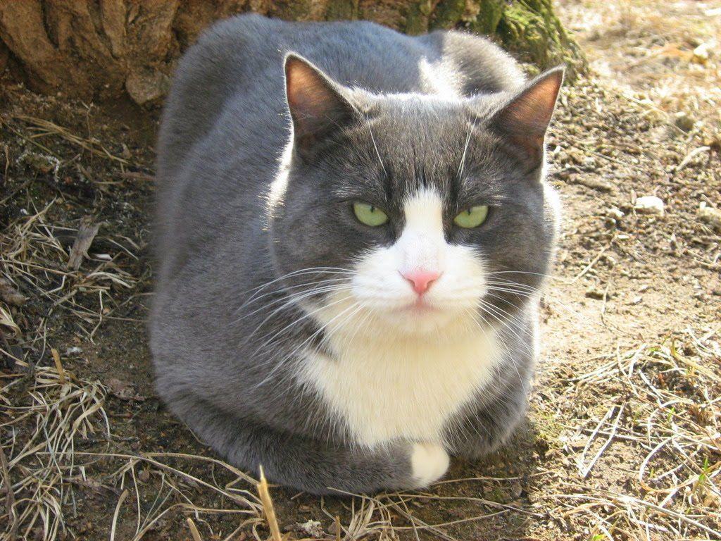 Gato Azul Y Blanco Patrones De Color En Los Gatos Cats