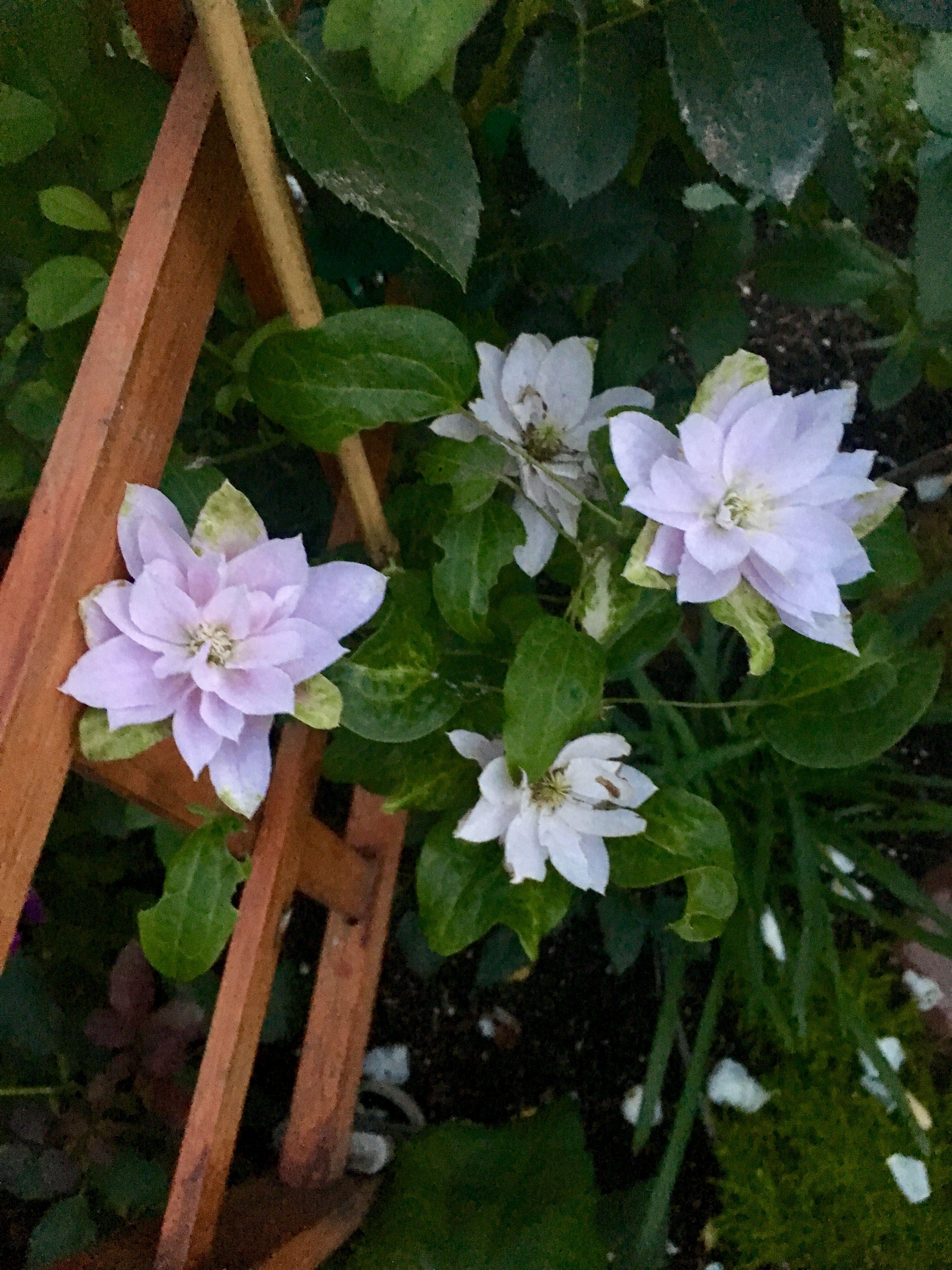 Clematis Dancing Queen Clematis, My secret garden