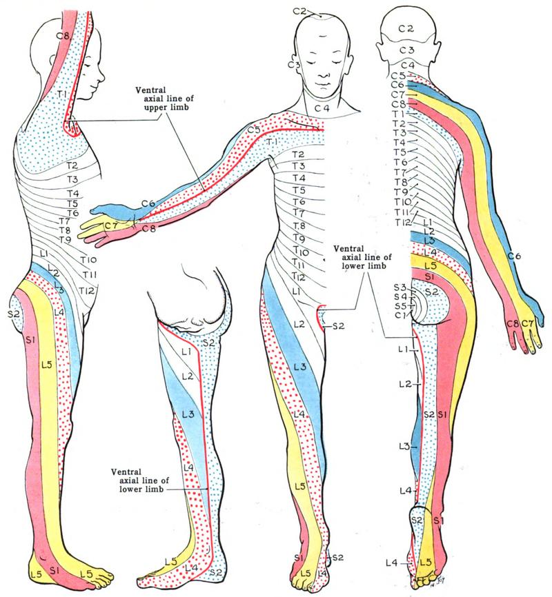 Fig 1.1 - The Keegan and Garrett dermatomal distribution. | Massage ...