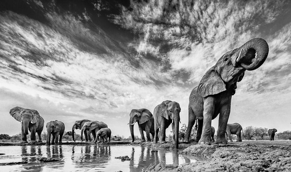 Botswana Elephants - Taken in Botswana at a place called Mashatu, close to the border between Zimbabwe and Botswana - Leo van Vuuren