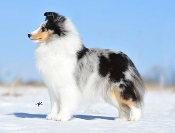 Sheltie Colours Sheep Dog Puppy Shetland Sheepdog Sheltie Dogs
