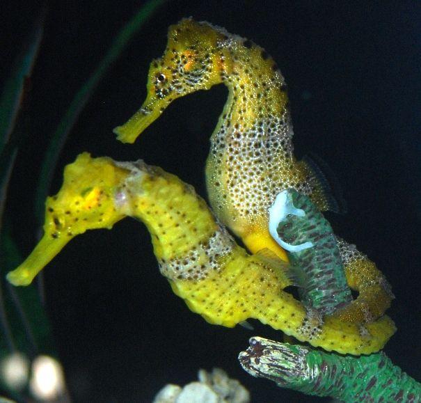 Seahorses Hippocampus Reidi Seahorses Beautiful Sea Creatures Seahorse Horses