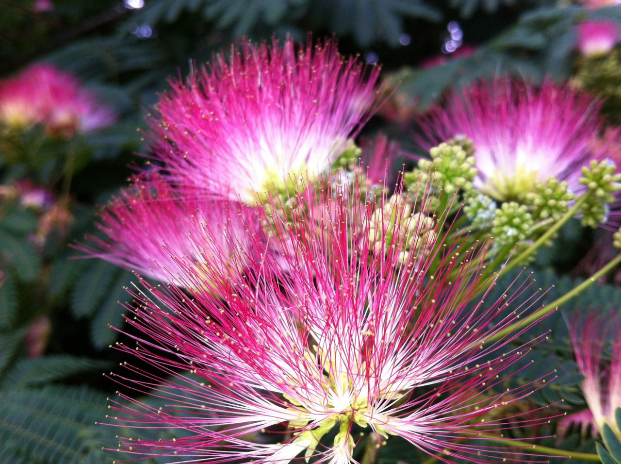 Pink Fuzzy Flowers Google Search Unusual Flowers Hanging Plants Chenille Plant