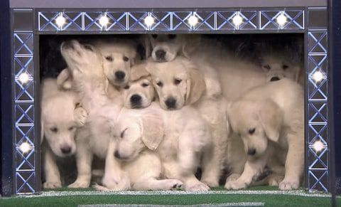 Watch Jimmy Fallon S Puppies Predict The Super Bowl Winner