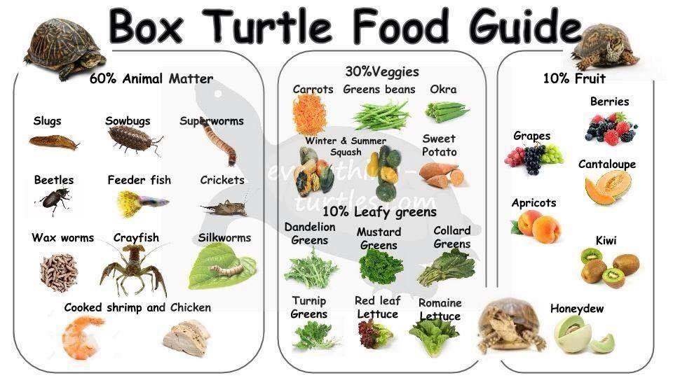 Box Turtle Diet Box Turtle Food Turtle Diet Box Turtle Diet