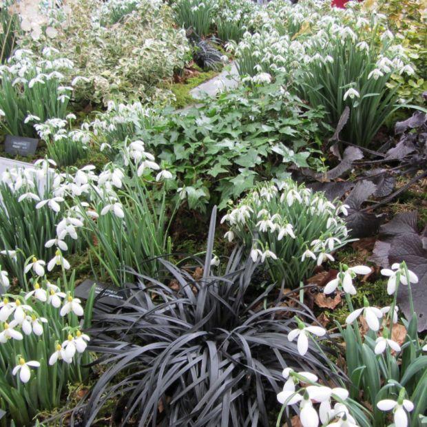 Ophiopogon Jardin D Ombre Vivaces Feuillage