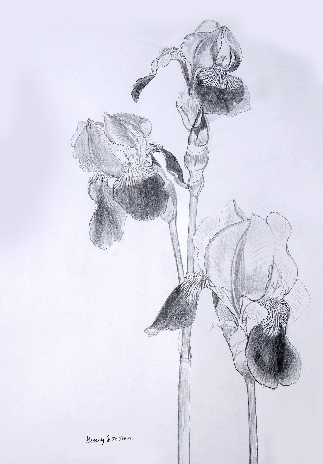 Hennys Original Design Drawing For Iris Flower Stencils Flowers