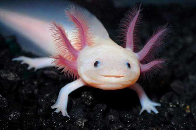Sonriente salamandra principal atracción en un acuario de Austria - Smiling salamander threatened with extinction becomes star attraction at Austrian aquarium
