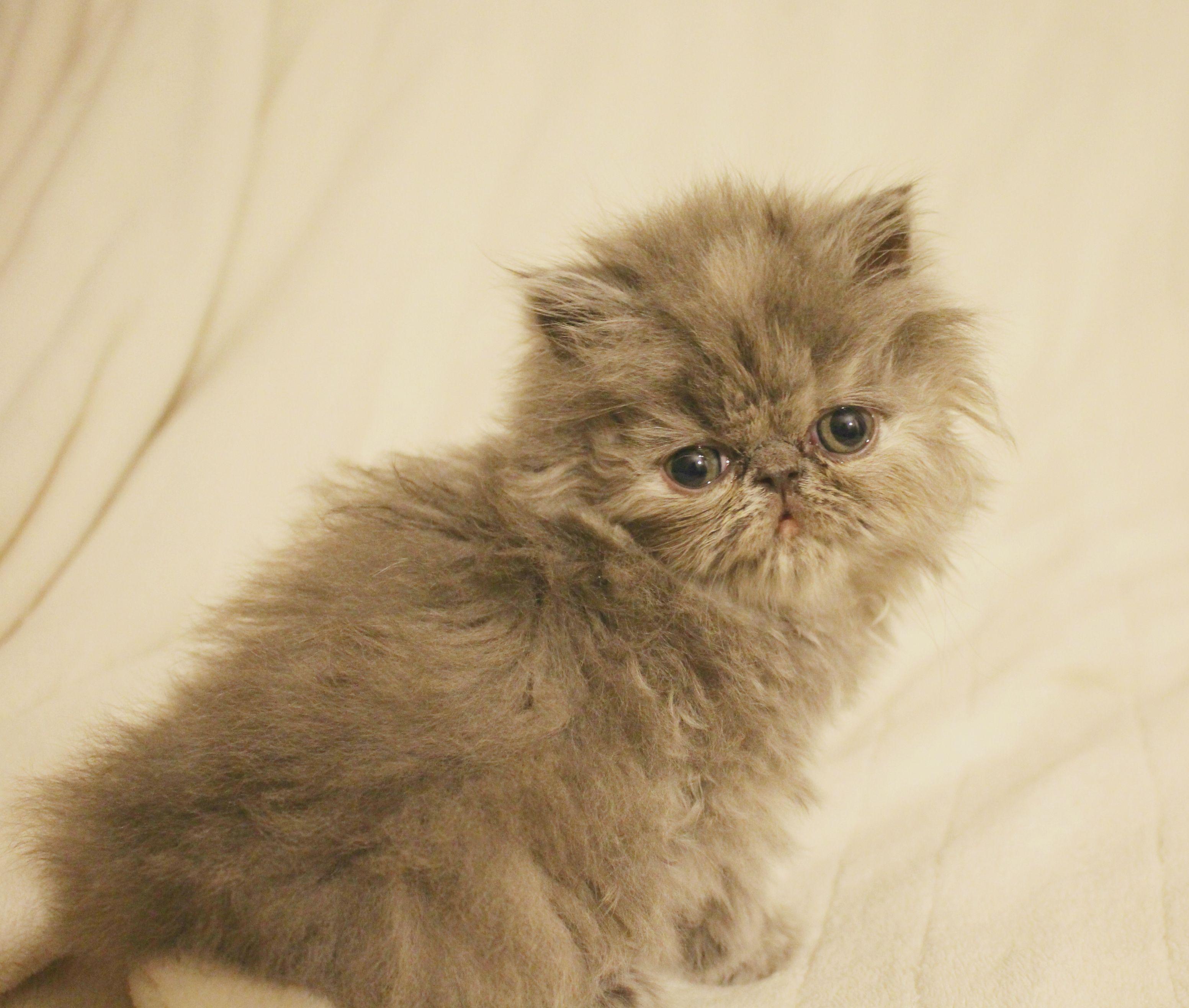 Blue cream Persian kitten Bellaluna Persians