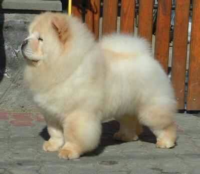 White Chow Chow Chow Dog Puppy Baby Animals Cute Animals