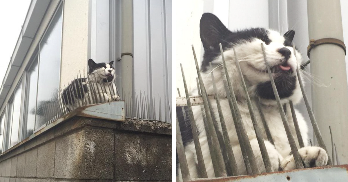 Cats Are Building Resistance To Cat-Deterrent Spikes In Japan