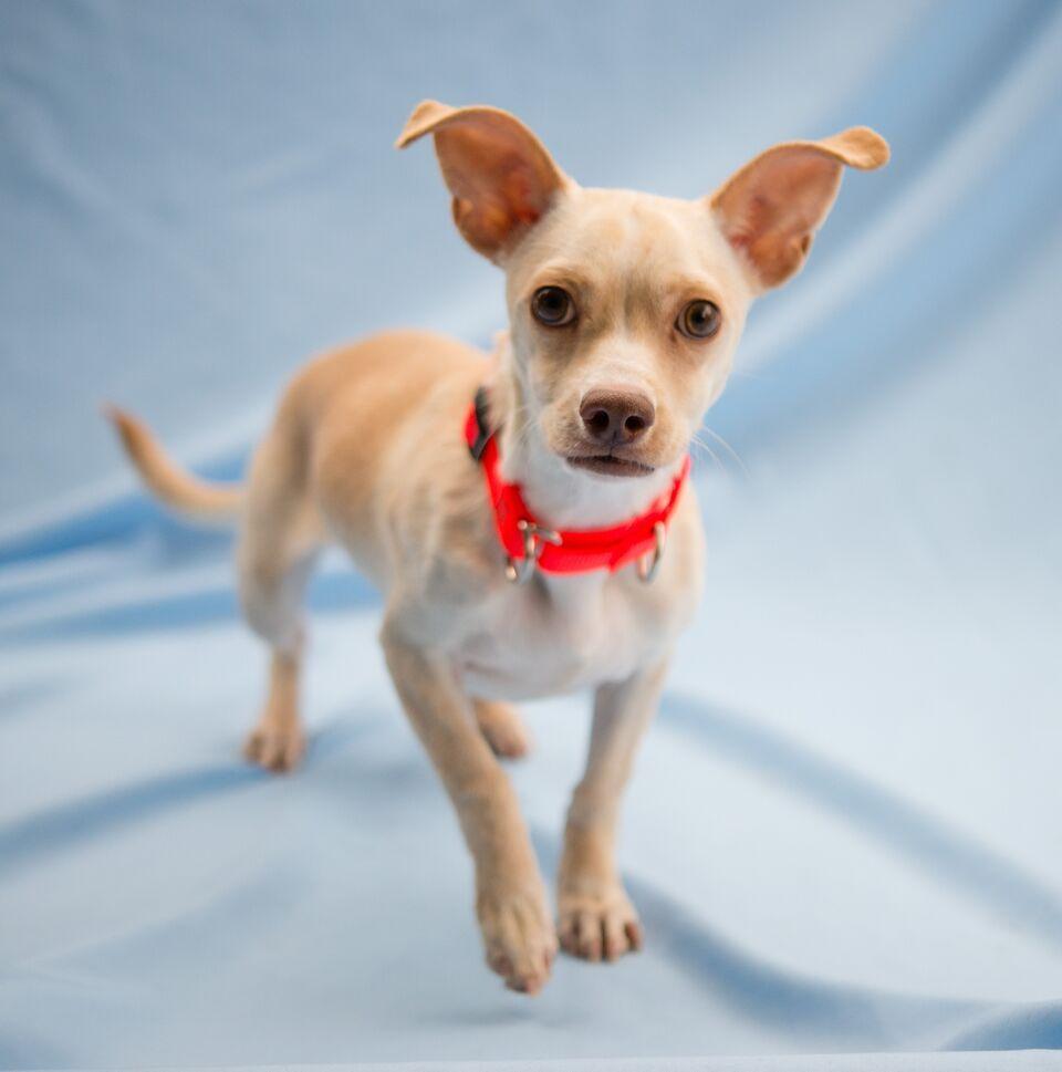 Chiweenie dog for Adoption in Alpharetta GA ADN on
