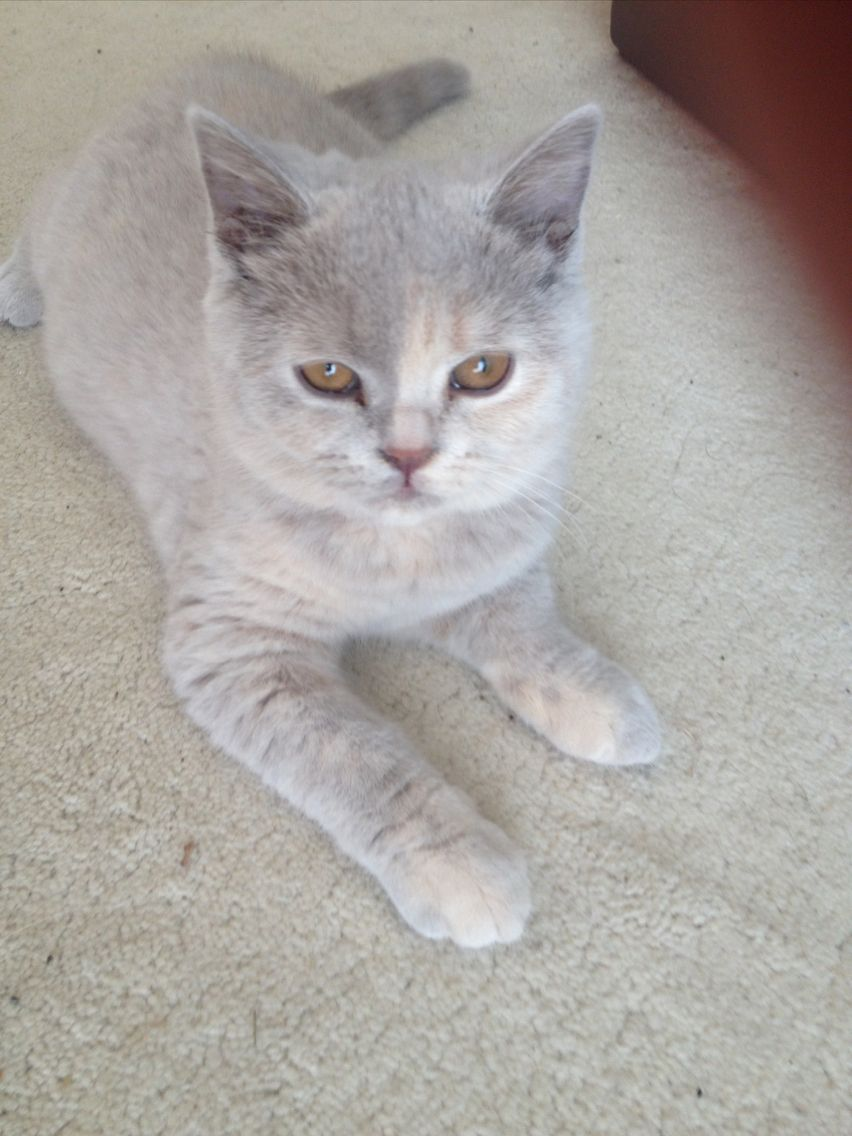 17 week old lilac tortie British shorthair cats, British