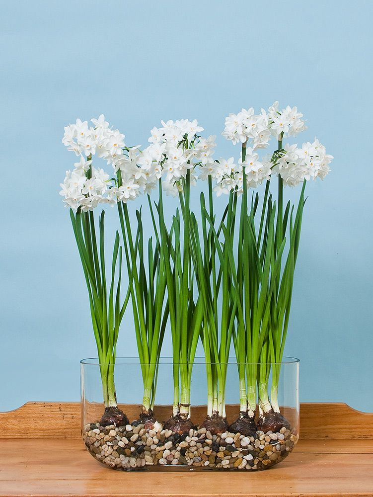 Spring bulbs white flowers choice image flower decoration ideas paperwhite ziva in windowsill vase white flowers flowers and plants large clusters of pure white flowers mightylinksfo Images