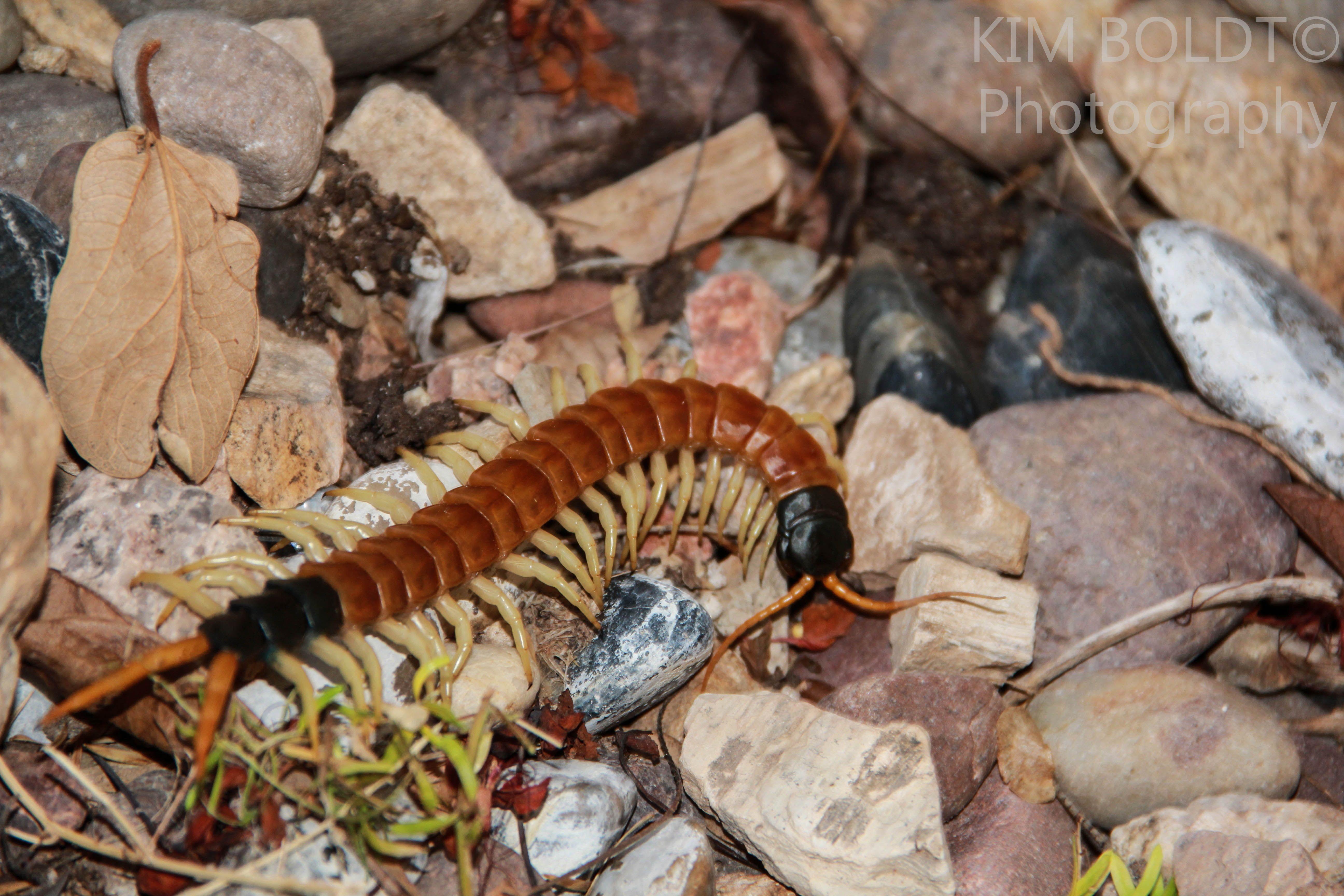 Giant Desert Centipede Tucson Wildlife Tucson Reptiles Arizona