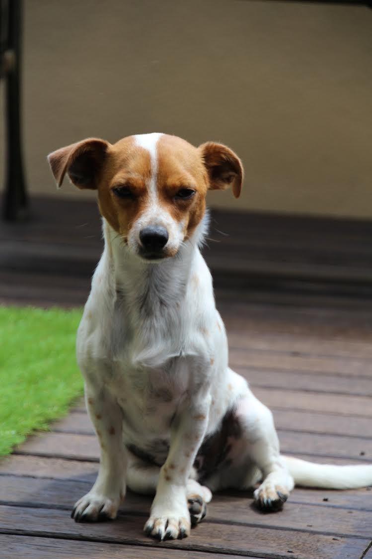 Ollie Jack Russell Chihuahua Pawshake