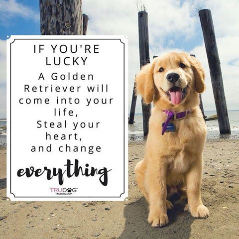 If You Re Lucky A Golden Retriever Will Come Into Your Life Steal