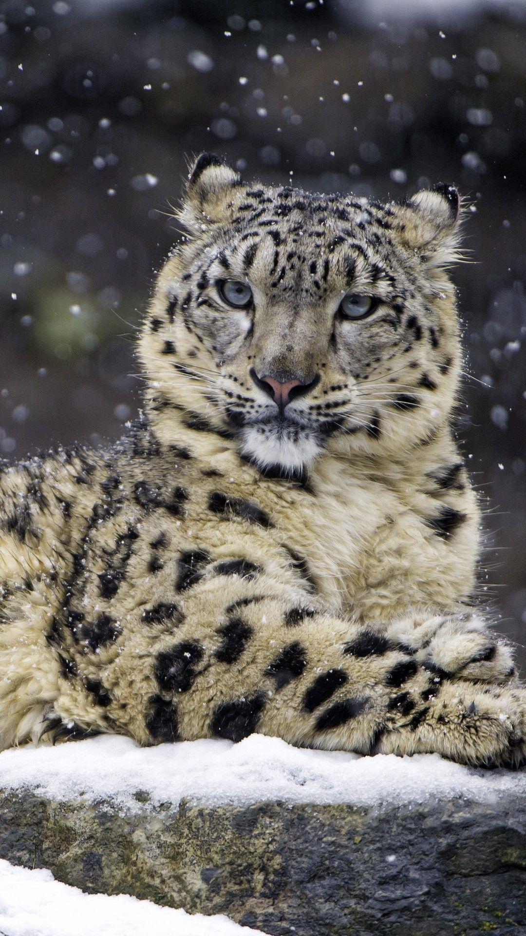 Snow Leopard Female Mobile HD Wallpaper in 2020 Snow