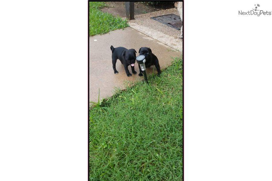 Thing 2 Pug Puppy For Sale Near Austin Texas A6d7d33f 2b81 Pug Puppy Pug Puppies For Sale Puppies
