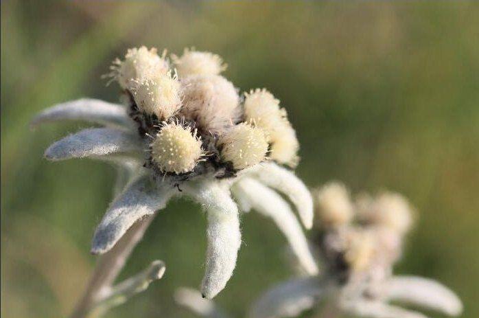 Gambar Bunga Edelweis Bunga Gambar Bunga Gambar