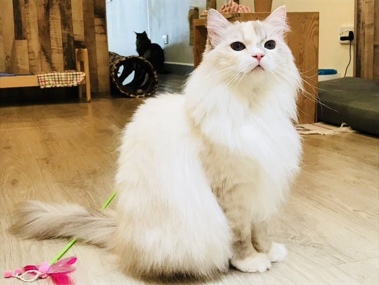 The Cat Cafes of Singapore in 2020 (With images) Cat