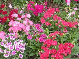 Dianthus Flower Seed Collection: Sweet Williams, Pinks, Carnations, Chinese Pinks & Fringed Pink. 5 Seed Packs with Growing Instructions.