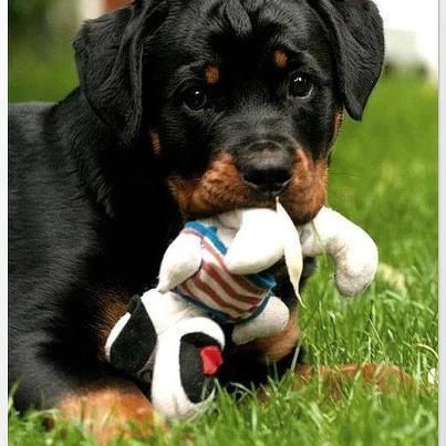 Cute Puppies Cute Dogs Rottweiler Puppies