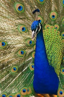 beautiful peacock colours | Animals | Peacock photos