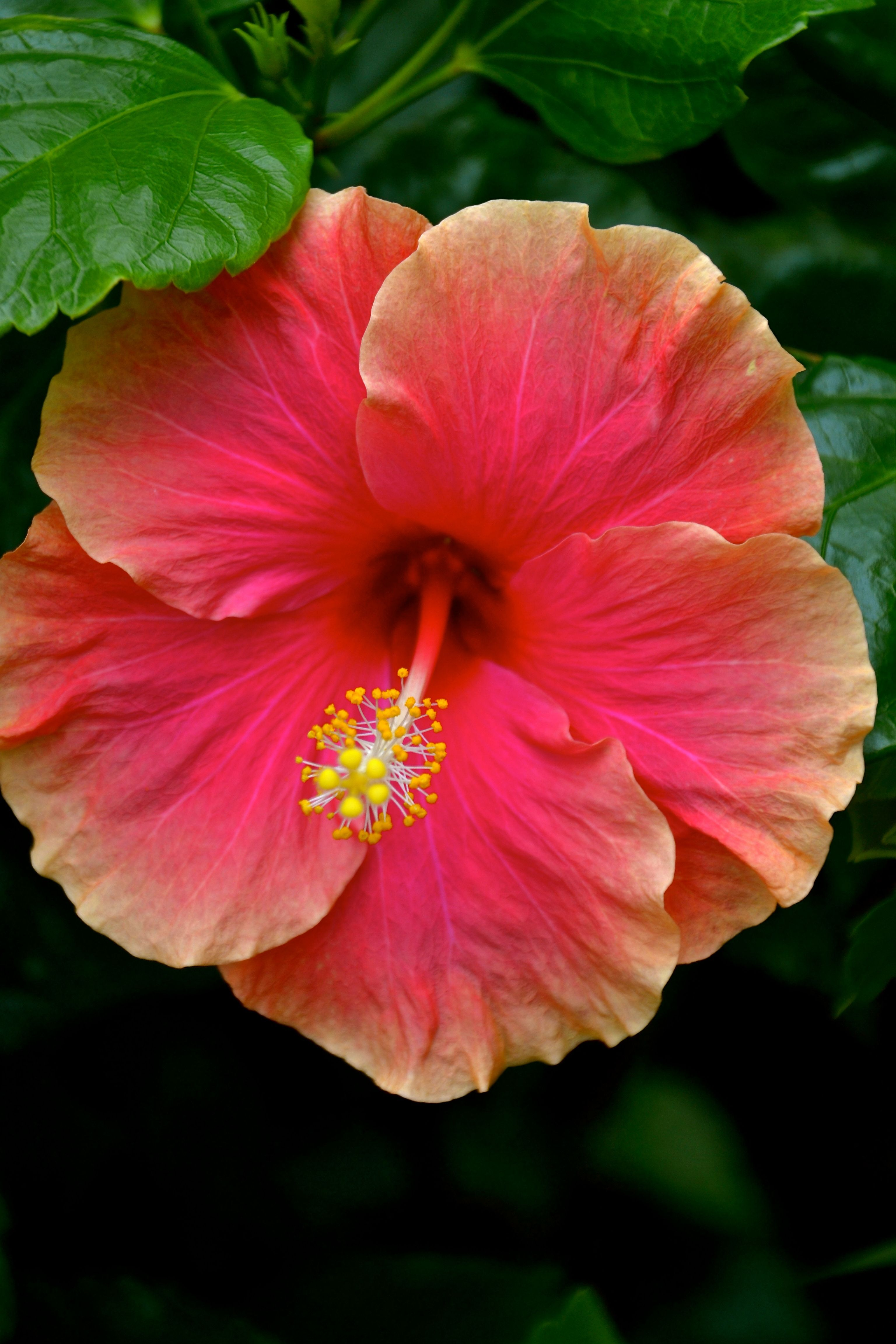 Hibiscus Madang Hibiscus Flowers Rose Of Sharon