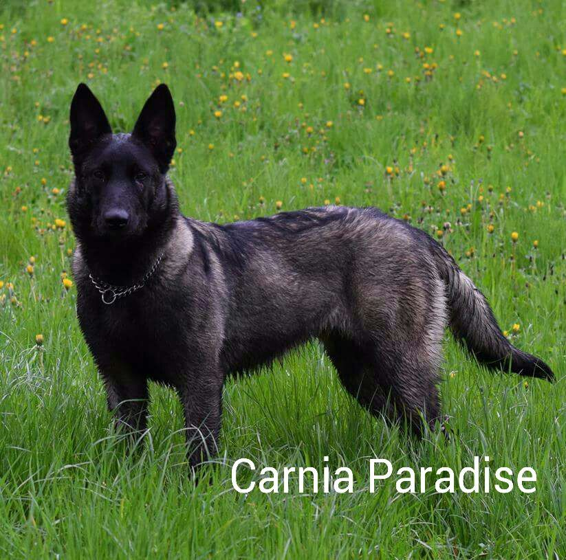 Plata 8 Months Old Female Malinois In Italy At The Elevage