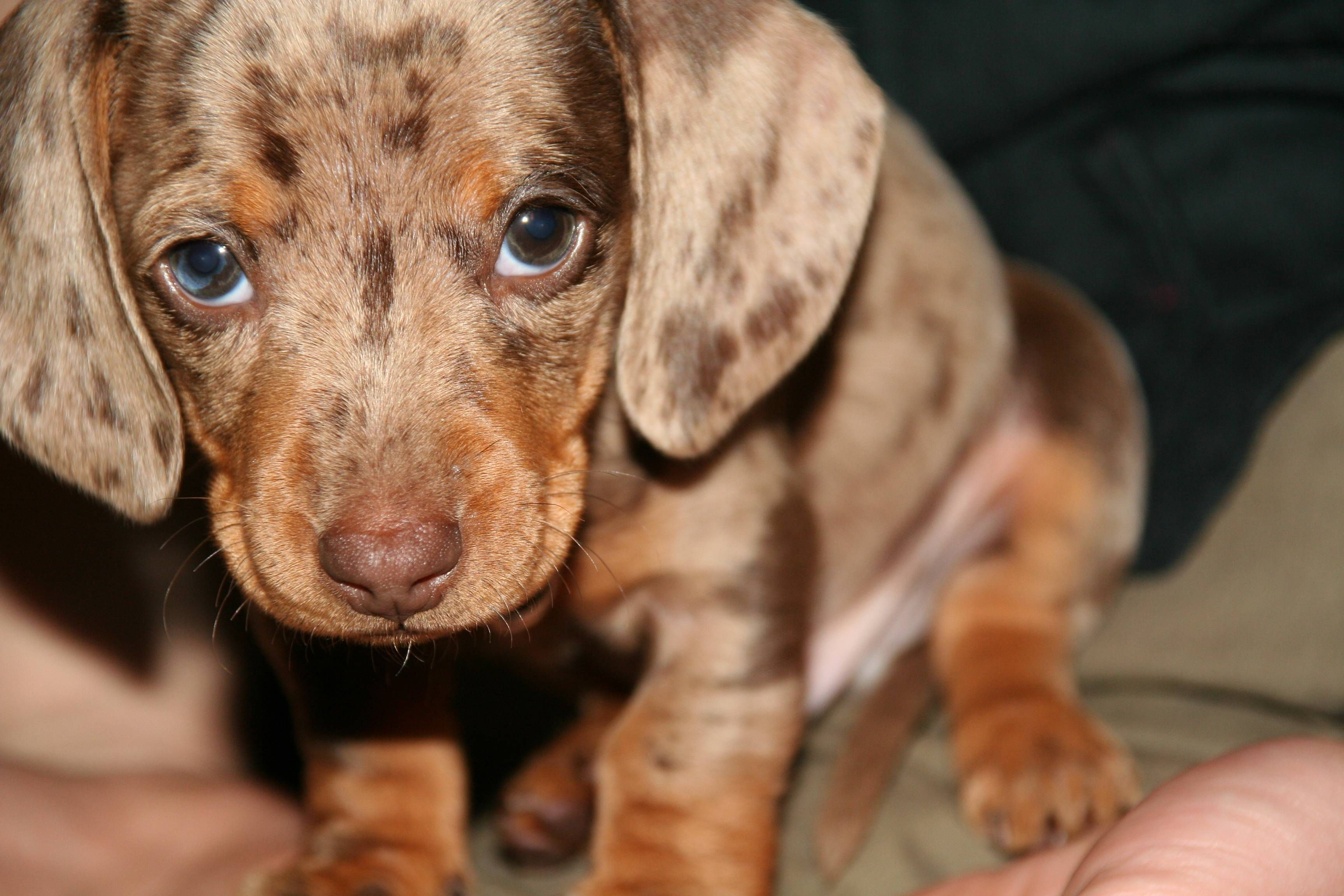 I'm sowwy, Papa... Funny puppy pictures, Dachshund, Dogs