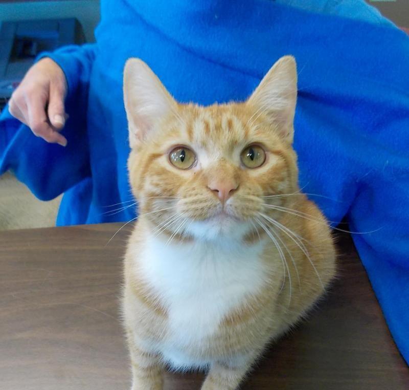 Adopt Frankie On Cats Short Hair Cats Humane Society