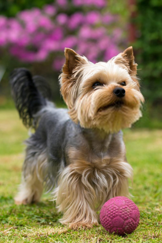 Terrier Puppies Yorkshire Terriers In 2020 Terrier Puppies Yorkshire Terrier Dog Yorkshire Terrier Puppies
