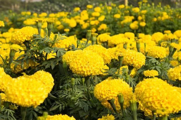Aksamitki Turki Tagetes Gatunki Aksamitek Do Ogrodu I Na Balkon Flowers Photography Plants Yellow Flowers
