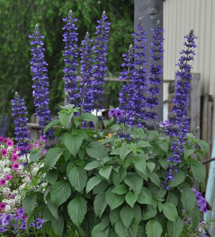 Salvia Mystic Spires You Are Here Home Products Blue