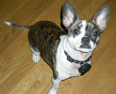 French Bullhuahua Dog Breed Information And Pictures Dog Breeds