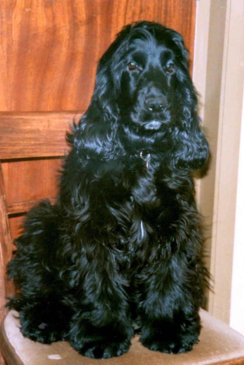 Harre aka Danehouse Montgomery of Stromboli - my very first showboy -  sire of Tedbear