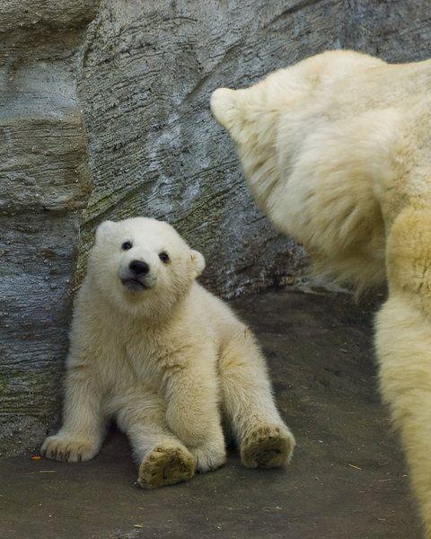 adorable baby polar bear expression nursery bear baby