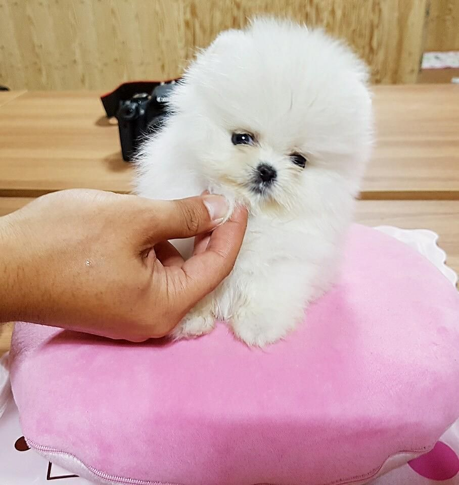 Pomeranian Puppies For Sale Under 300 In 2020 Pomeranian Puppy For Sale Pomeranian Puppy Pomeranian Puppy Teacup