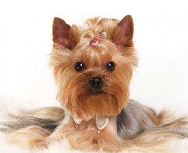 Beautiful Yorkshire Terrier Hairstyle Yorkshire Terrier Yorkshire Terrier Dog Toy Yorkshire Terrier